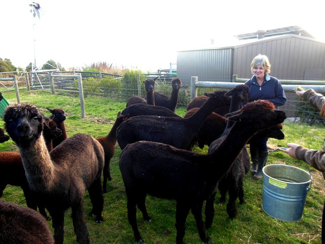 clifden farm black alpacas