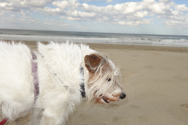 dog,beach,shoalhaven,ocean,sand,jack russell,terrier,canine,nsw