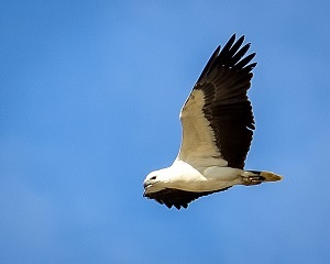 Logan eco forum, ecology, environment, Steve Parish, photography, nature, conservation, sea eagle