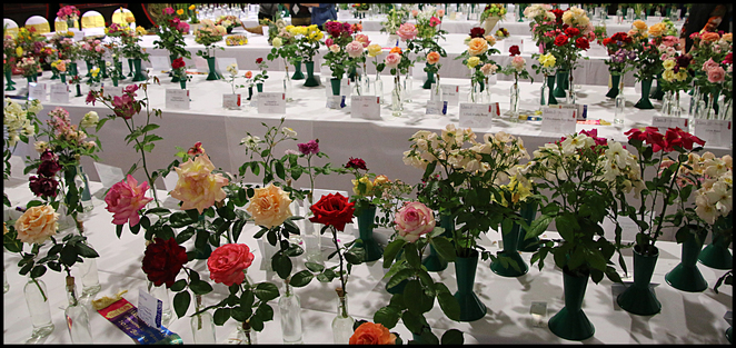 Spring, Rose, Show, 2016, cut flowers,