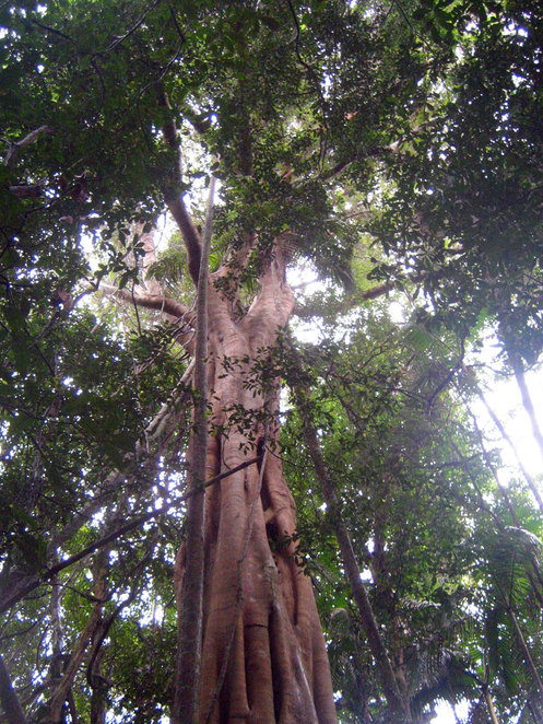 One of the highlights of the walk are several huge old rainforest trees