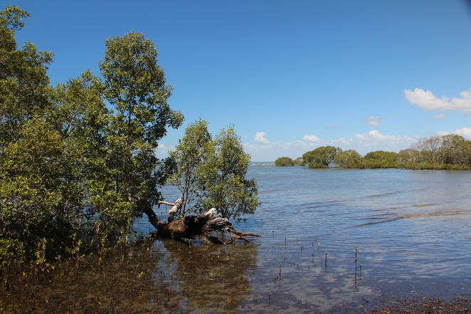 mangroves, Beachmere, sea