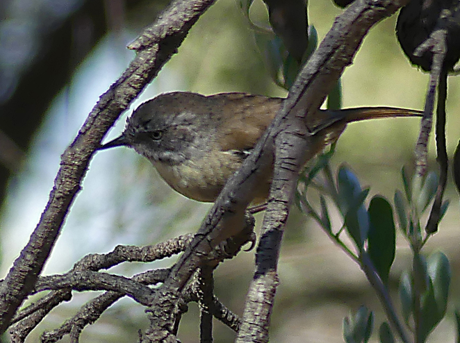 South Australian wildlife, South Australian tourism, Wildlife photography, Victor Harbor, The Bluff, scrub wren
