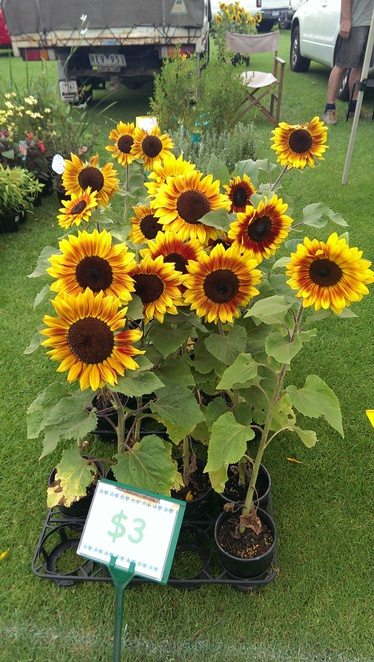 sunflowers boneo market children family penninsula mornington kids