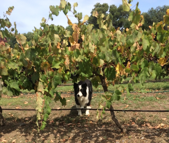 Winery-dog