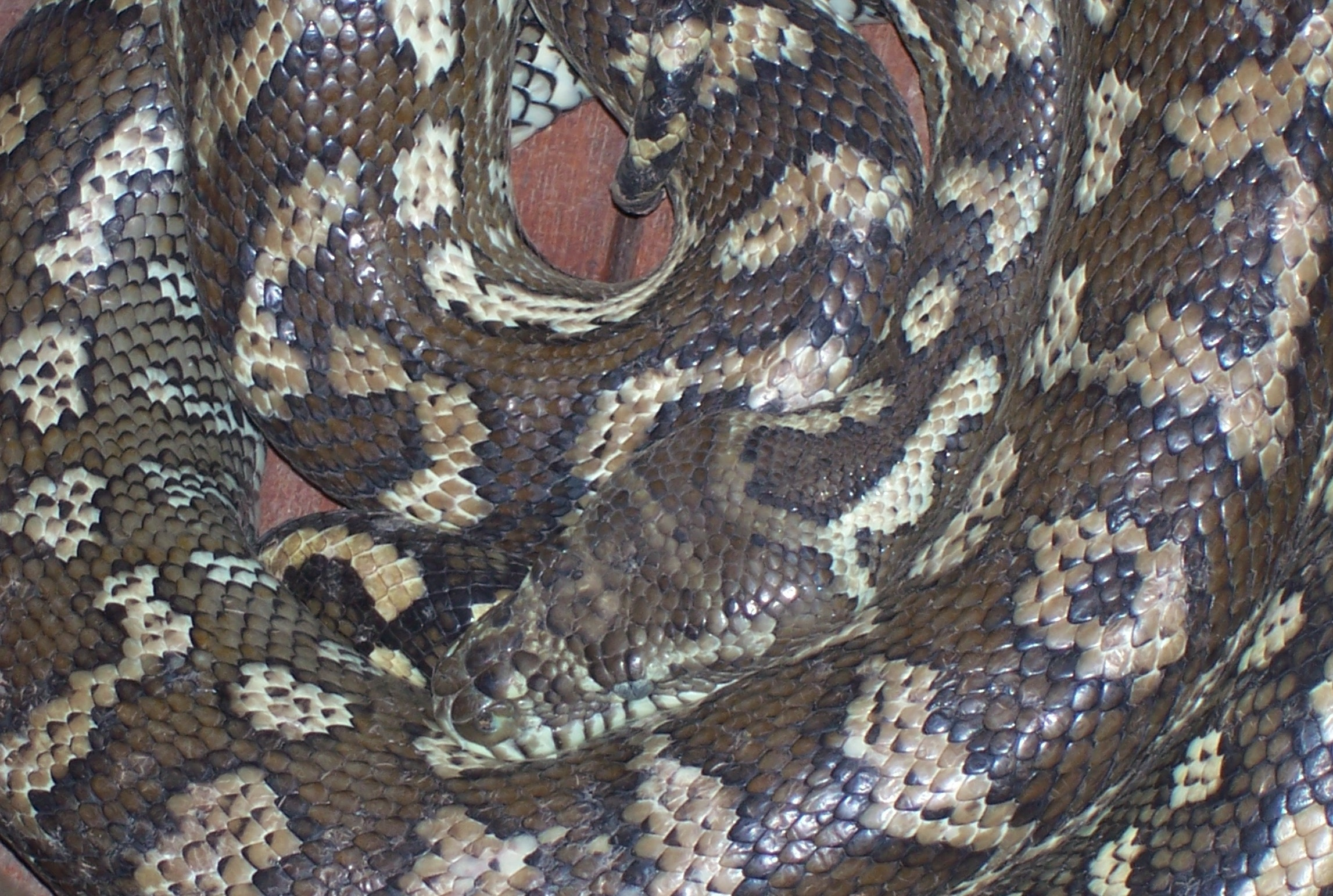 scaly visitors you might find in your brisbane garden brisbane