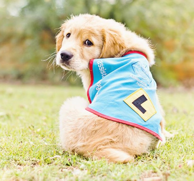 assistance puppy