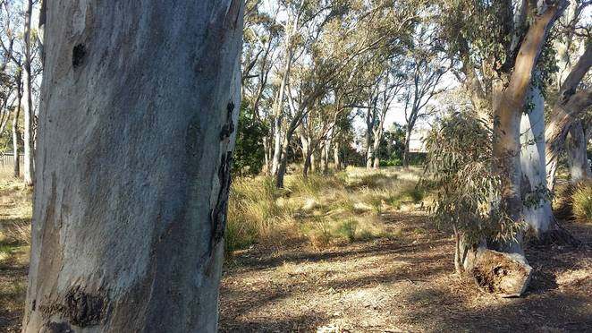 Caruana Woodland Reserve, Dingley, parks, river red gums, walks