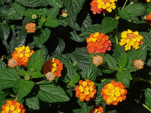 Lantana,poison,for,dogs