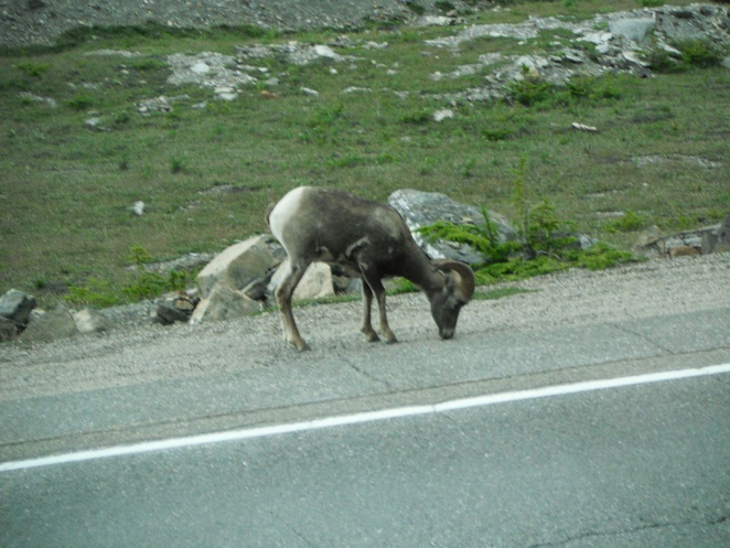 long horned sheep, Banff