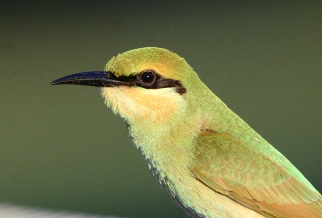 Rainbow bee eaters are just one of the many species that can be seen around the lake