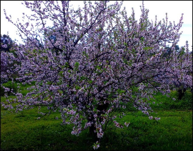 spring, almond blossoms, mclaren vale, south australia, flowering tree