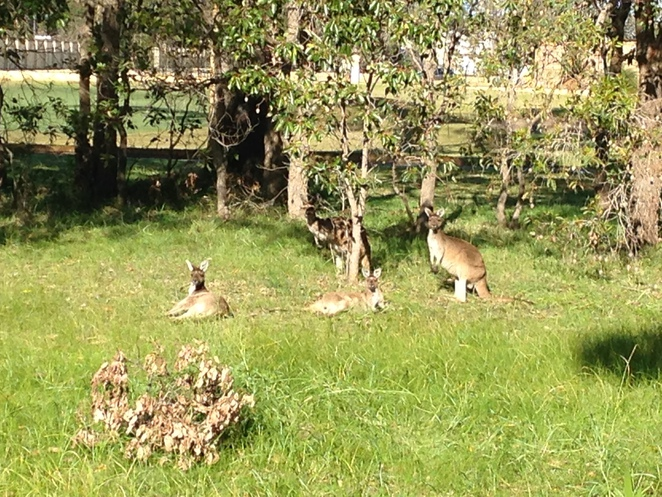 The Vines, wild kangaroos, where to see a wild kangaroo in perth,