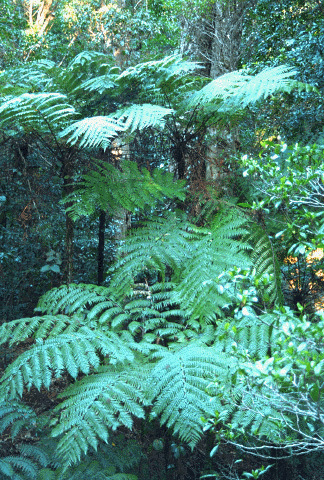Tree Ferns are stunning on drive up and back