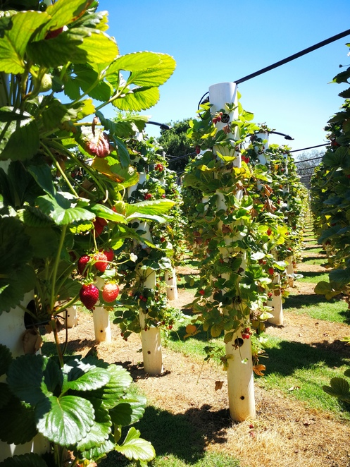 vertical strawberry farm, vertical strawberries, strawberry tree, strawberry forest, strawberry bacchus marsh, u-pick strawberry bacchus marsh