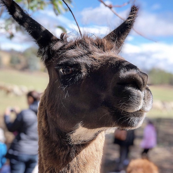 Alpaca Magic Open Day, farm visits near Canberra, alpacas and llamas Canberra, things to do with kids Canberra, petting zoos near Canberra, petting farms near Canberra, Canberra day trip, Sutton