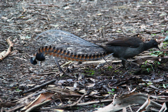 Lyre birds frequent Bartlett Road near Silvan.
