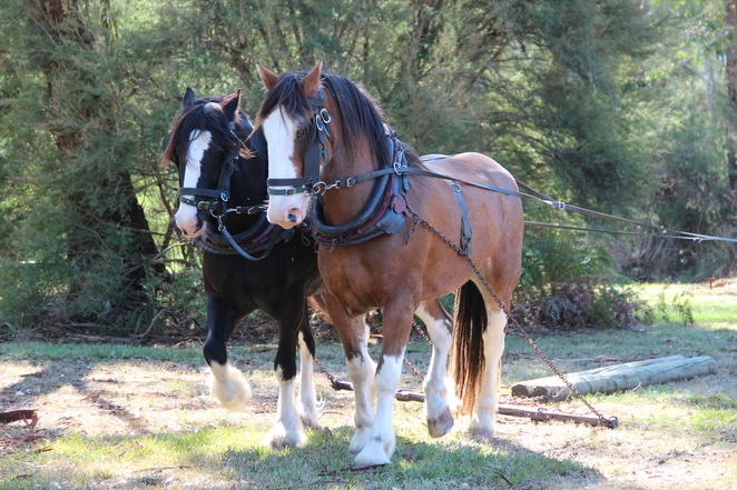 clydesdales, draught horses, steam,