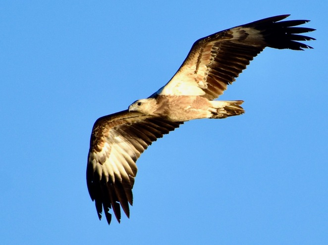 A juvenile white-bellied sea eagle perfecting its hunting above Morwong Beach