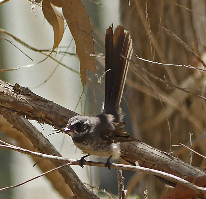 South Australian wildlife, South Australian tourism, Wildlife photography Wildlife stories, Houghton, Birding, grey fantail