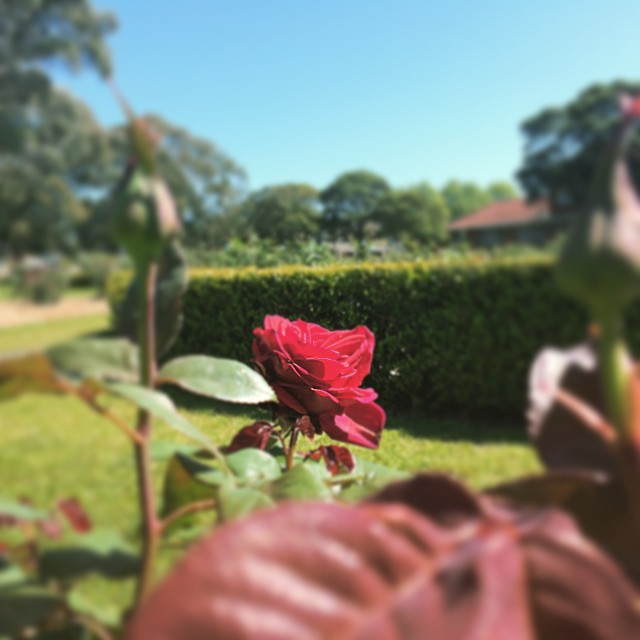 wollongong, south coast, outdoors, pioneer, park, rose, garden