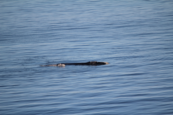 Birth of a Southern Right Whale Calf