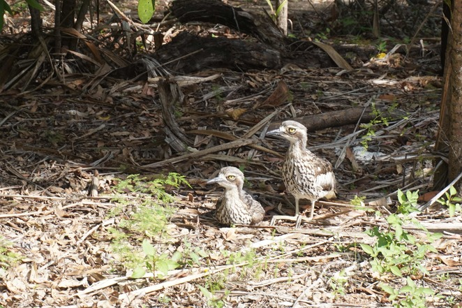 Bush stone curlews in the carpark