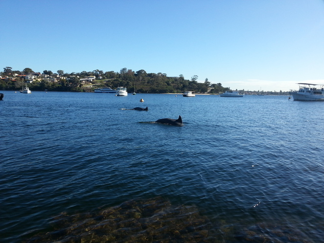 Dolphin, Perth, Swan, River, Blackwall, Reach, Fremantle, Bottlenose, Common