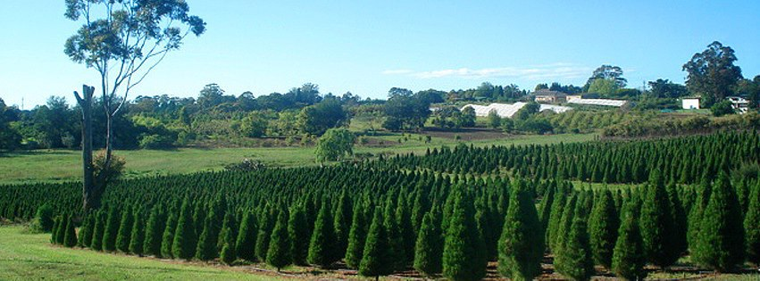 Dural Christmas Tree Farm - Dural Christmas Tree Farm - Sydney