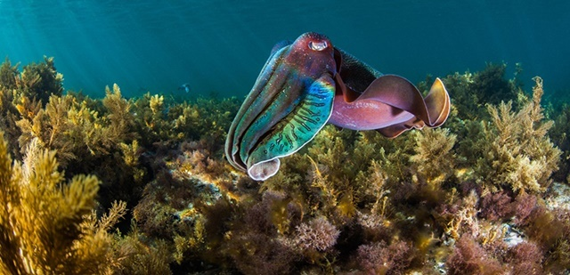 giant,cuttlefish