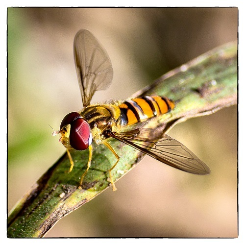 Logan eco forum, ecology, environment, Steve Parish, photography, nature, conservation, snakes, hoverfly