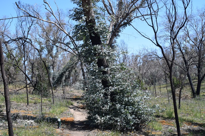 Roachdale Nature Trail, Kersbrook, Williamstown, Kersbrook Hill Wines, Linfield Road, Checkers Hill, Williamstown Bakery. Long Leaved Box Tree