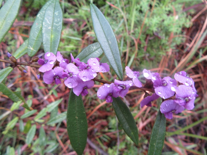 Roses Circuit Dularcha National Park, Dularcha National Park, Glass House Mountains, Landsborough, Connection Track, Ridge Track, Gully Track, Myla Track, Hardenbergia violacea or Happy Wanderer,