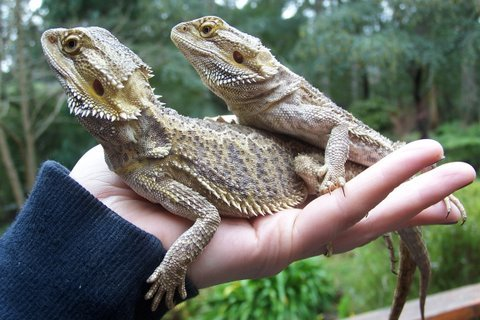 Actually quite soft on their belly lizards!