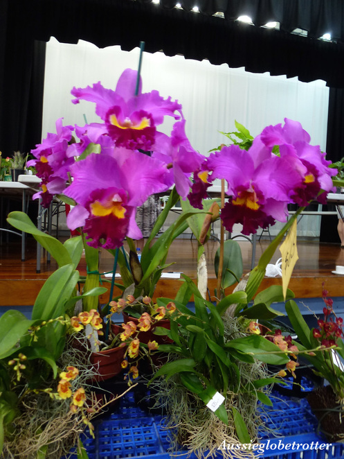 Boonah Orchid Show, Boonah, Orchid, Plant, Flower