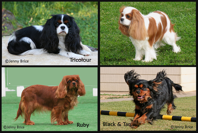 Cavalier, King, Charles, Spaniel, Capers, Fun day, four colours,