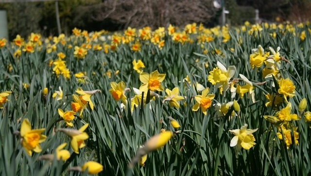 daffodils,at,Rydal