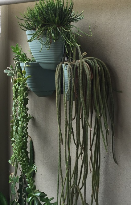 hanging,succulents
