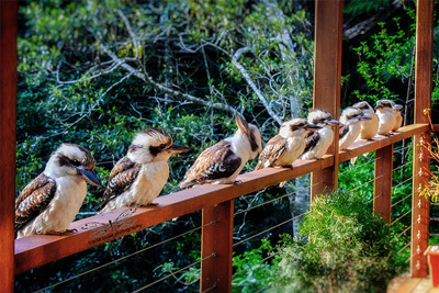 kookaburra, kingfisher, Springbrook, wildlife, nature, birds, funny, hinterland, Queensland, several, Tracie Louise