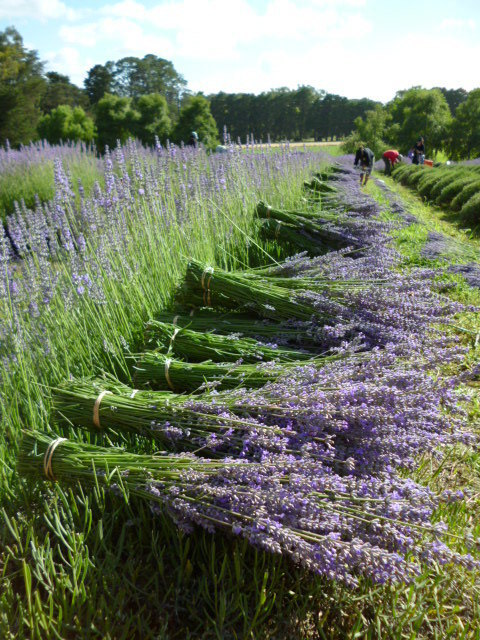 Lavandula angustifolia, edible lavender, harvest, Warratina