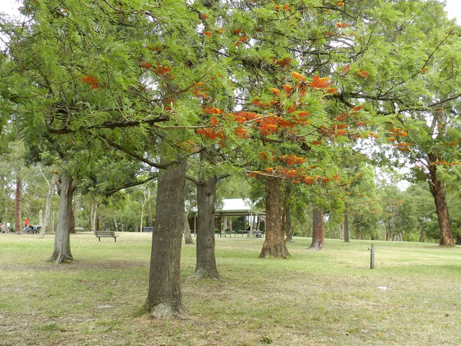 silky oak, grevillea robusta, jells park, parks in melbourne, australian flora, park walks in melbourne, wheelers hill,