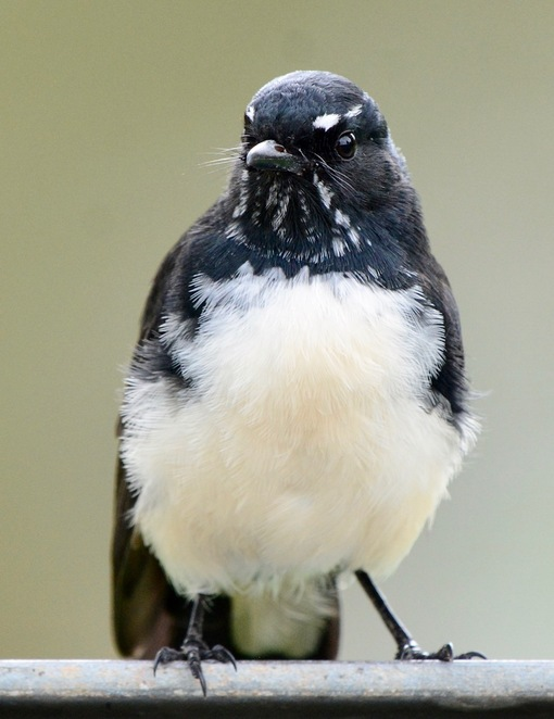 A willy wagtail at Mount Cotton Community Park