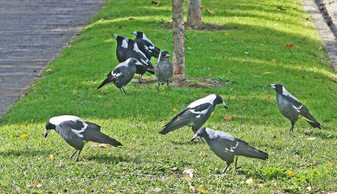 group of magpies.
