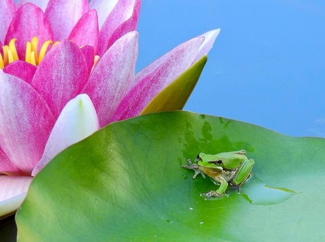 These frogs may be tiny, but they are mosquito assassins