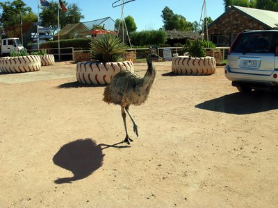 mount conner, curtin springs, northern territory, emu
