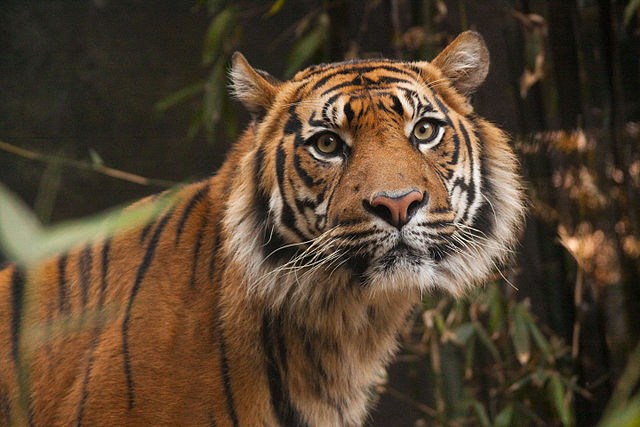 Sumatran Tiger at Taronga Zoo