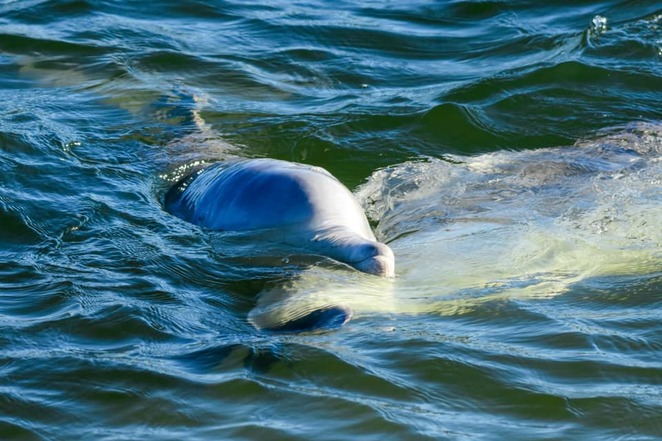 The dolphins who visit here love human interaction and displayed signs of loneliness during the strict COVID restrictions of April 2020