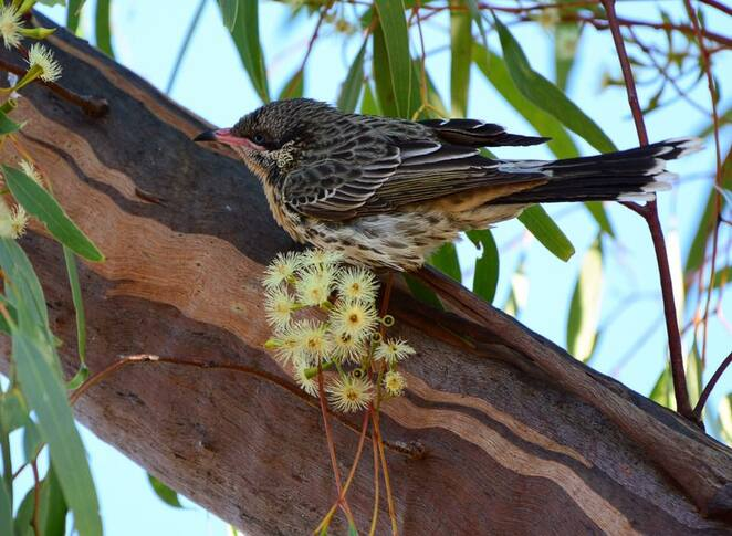 A spiny cheeked honeyeater at Burke's Grave