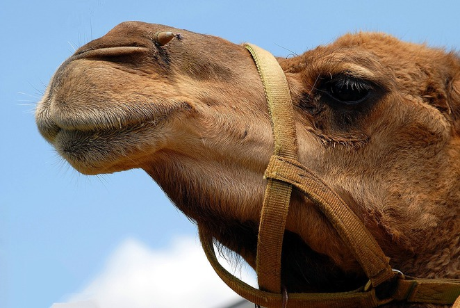 Camels in Fed Sq!