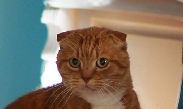 cats for mental health, scottish fold, cat rescue